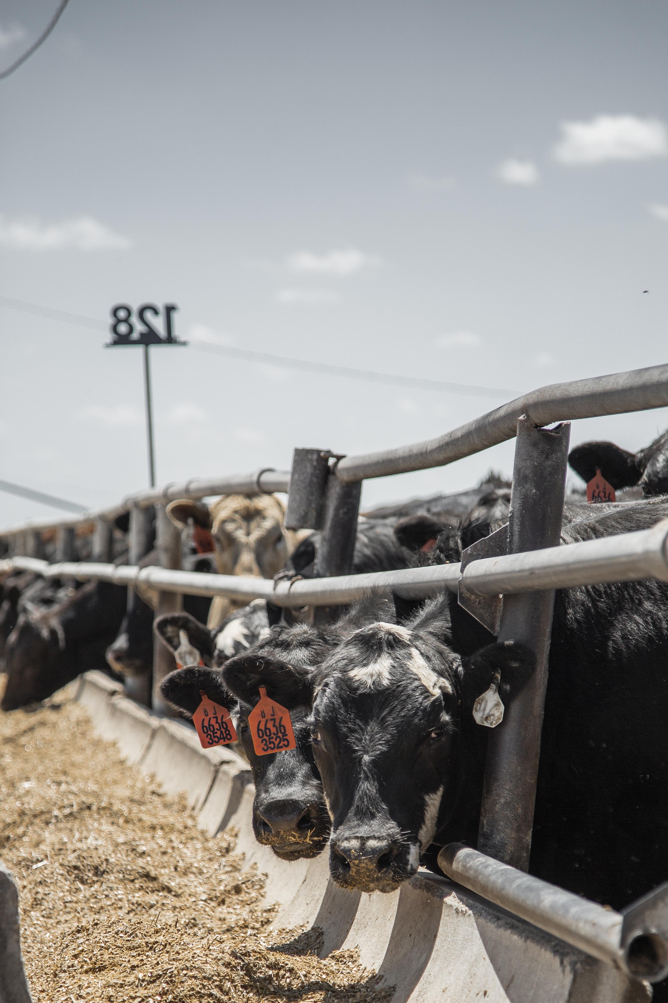 beef cattle veterinarian dr - HD2692×4038