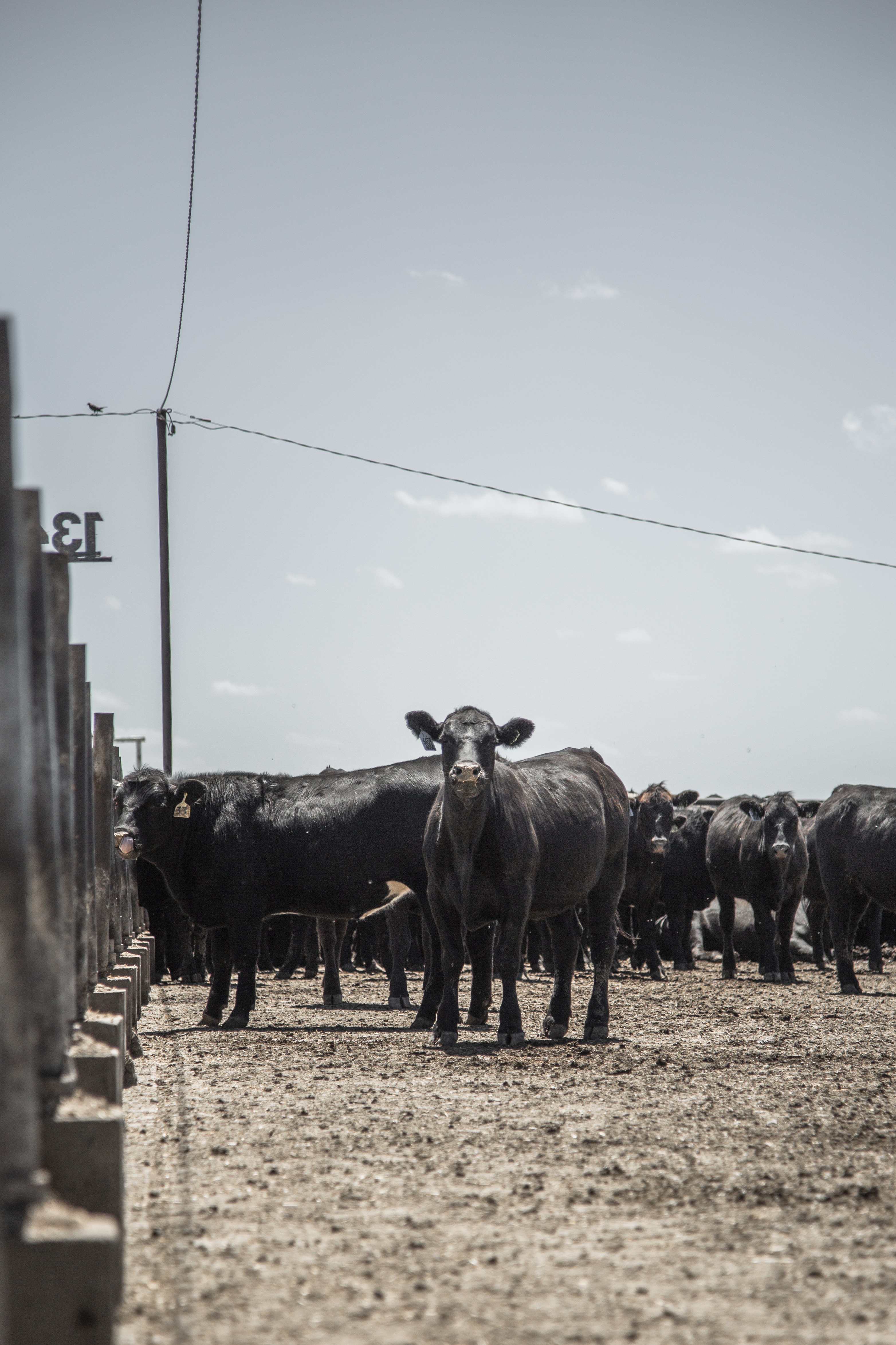 beef cattle veterinarian dr - HD3128×4692